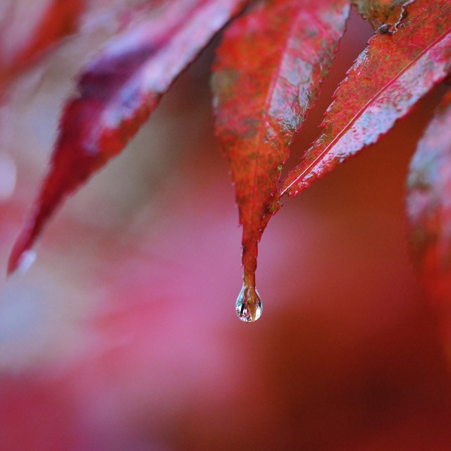 """Water droplet on Leaf"" stock image"