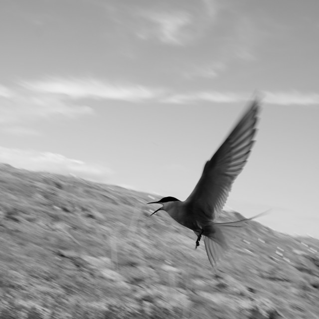 """""""Arctic tern attacking"""" stock image"""