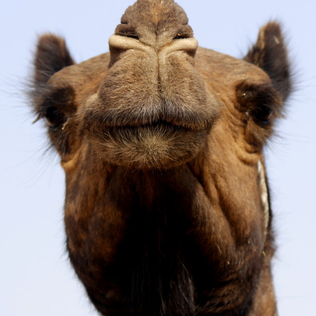 """Portrait of a Camel"" stock image"