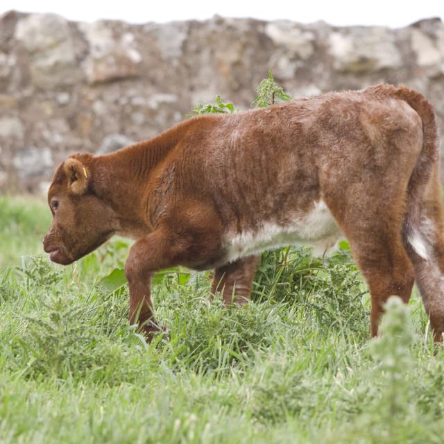 """Calf"" stock image"