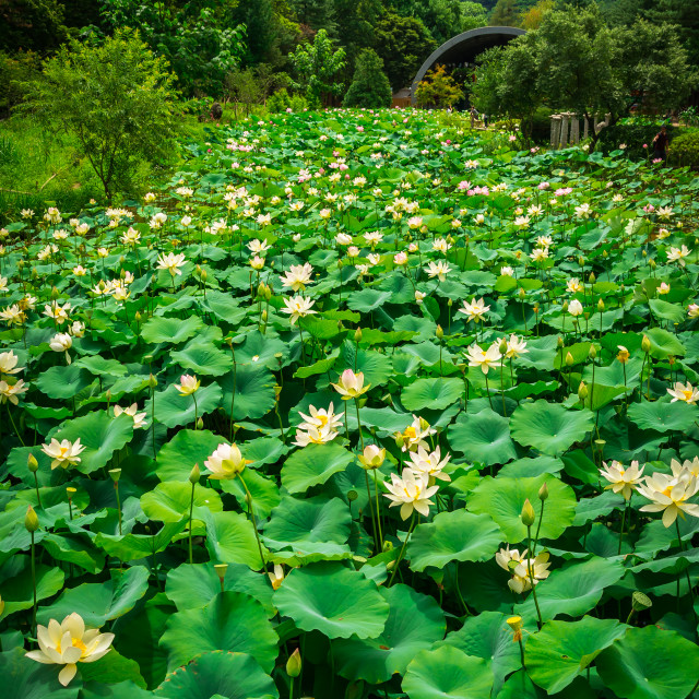 """Blooming Lotus Pond"" stock image"