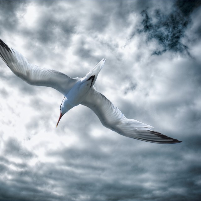 """Tern in flight"" stock image"