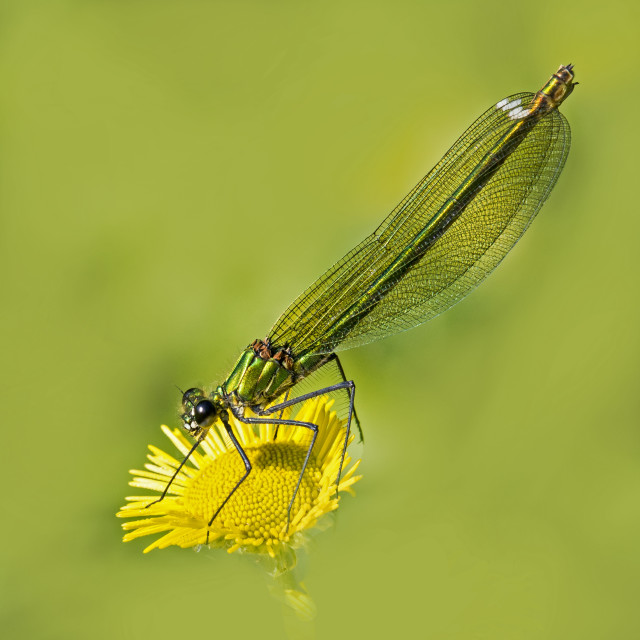 """Banded Demoiselle (Female)"" stock image"