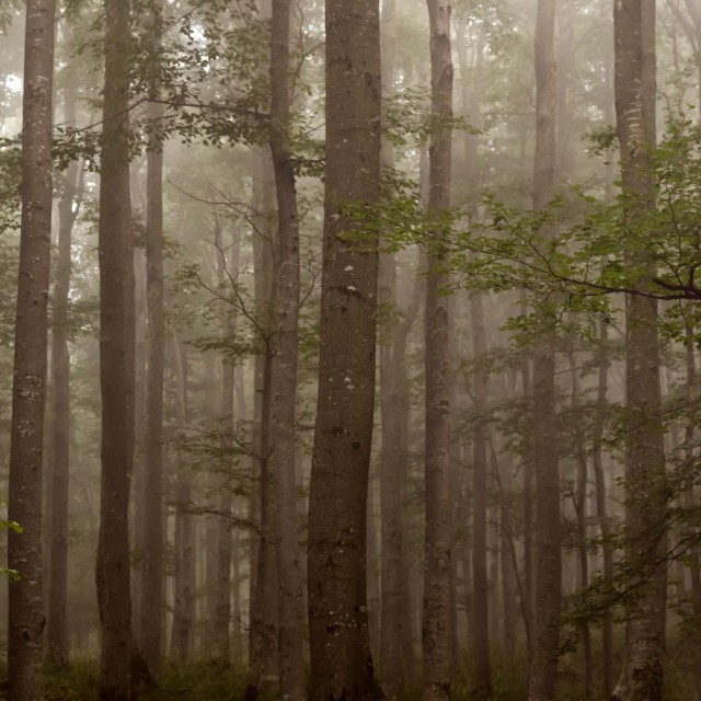 """Misty forest"" stock image"