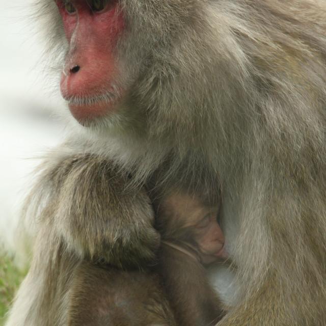 """""""Nursing Monkey"""" stock image"""