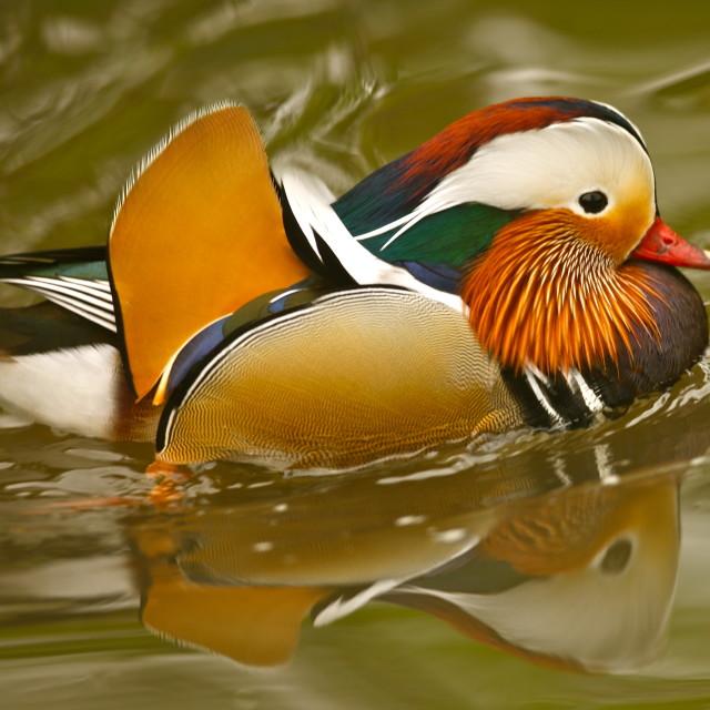 """Mandarin Duck"" stock image"