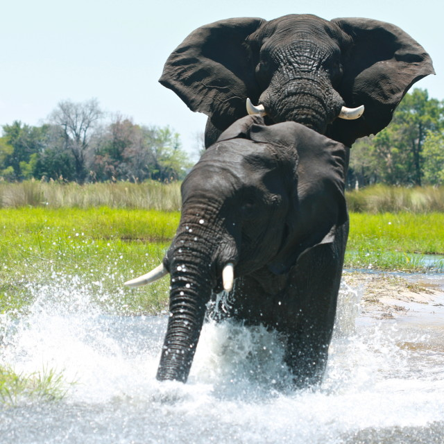 """Elephants Charging"" stock image"