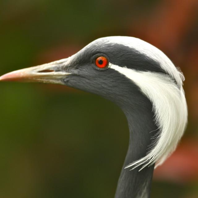 """Black crane"" stock image"