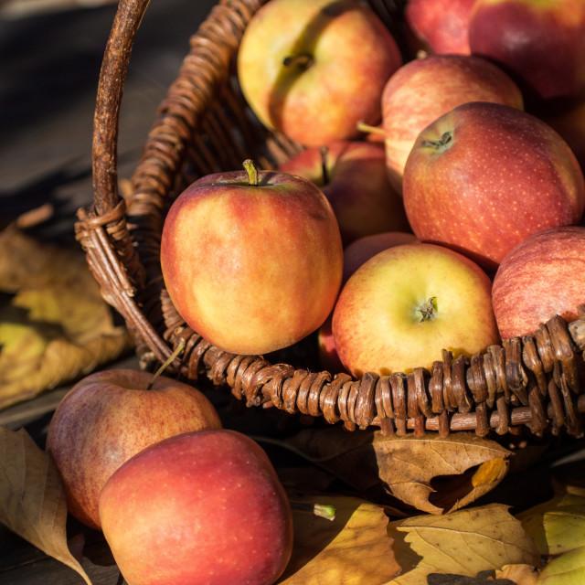 """""""apple picking"""" stock image"""
