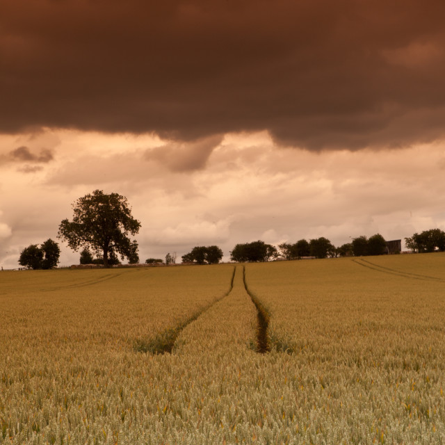 """Corn field"" stock image"