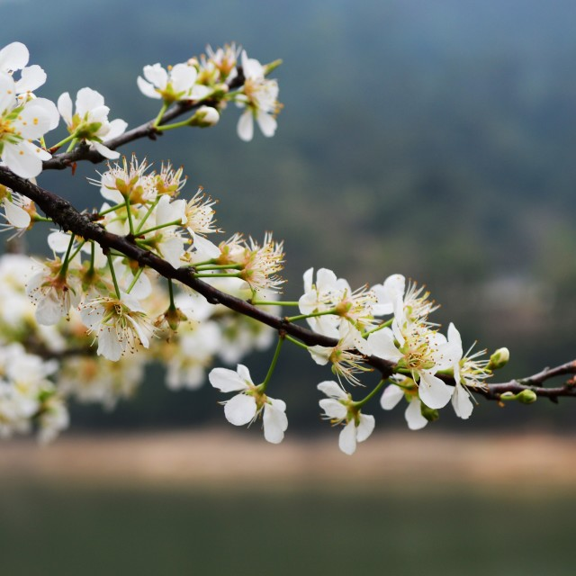 """Plum flower"" stock image"