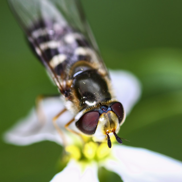 """""""Hoverfly pollinating"""" stock image"""