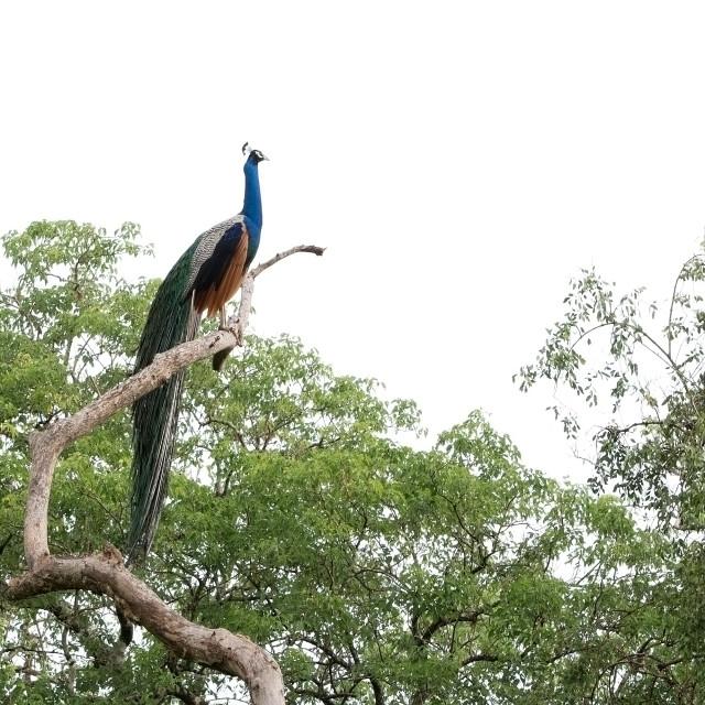 """Peacock in jungle tree"" stock image"