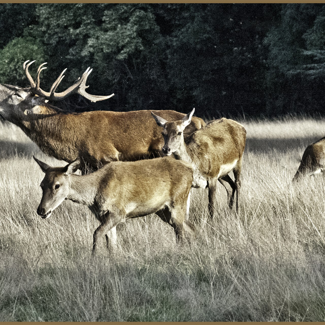 """""""STAG WITH HINDS"""" stock image"""