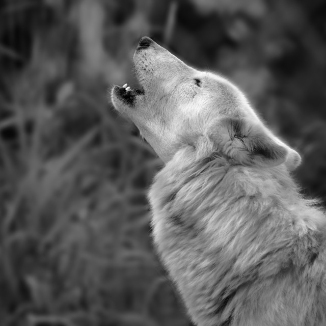 """Howling Wolf"" stock image"