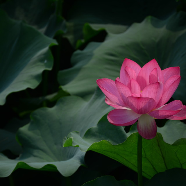 """Lotus"" stock image"