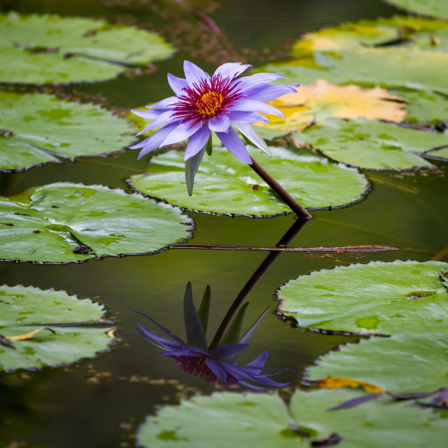 """""""Water lily flower"""" stock image"""