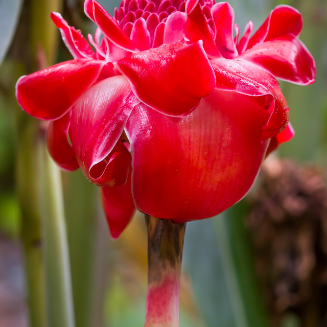 """Red Torch Ginger flower"" stock image"