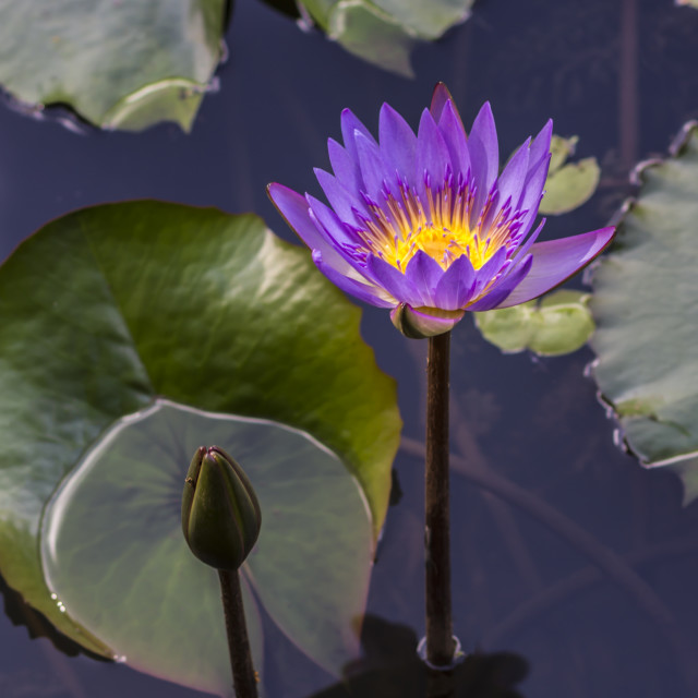 """Purple water lily"" stock image"