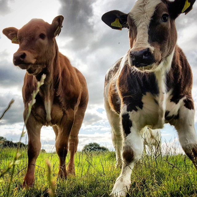 """Curious Young Bull Calves"" stock image"