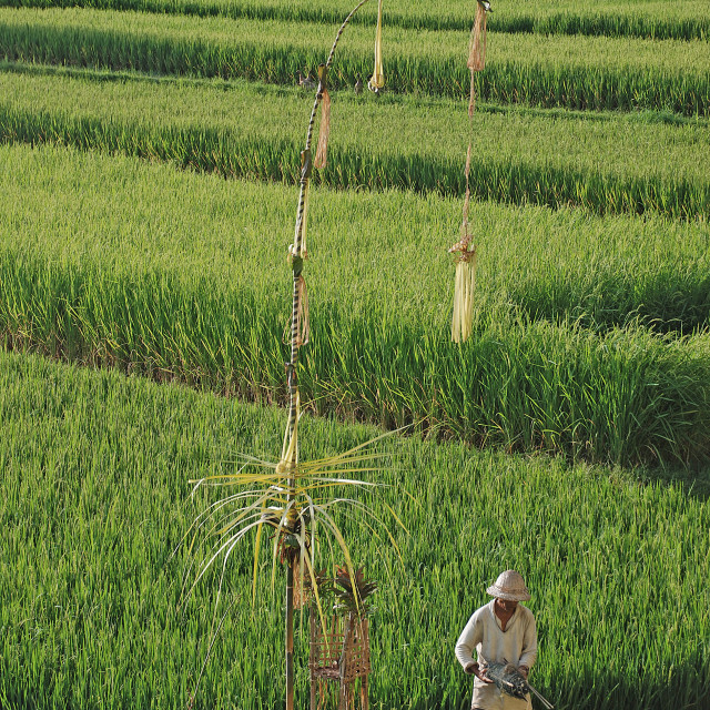 """Farmer at rice field"" stock image"