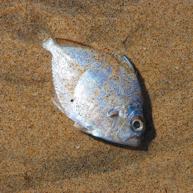 """""""Dead fish on the beach"""" stock image"""