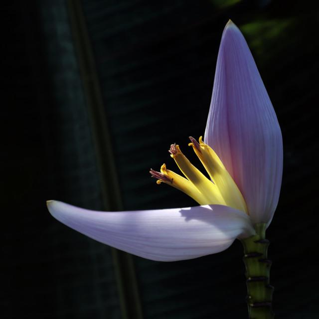 """""""Banana Flower (I)"""" stock image"""