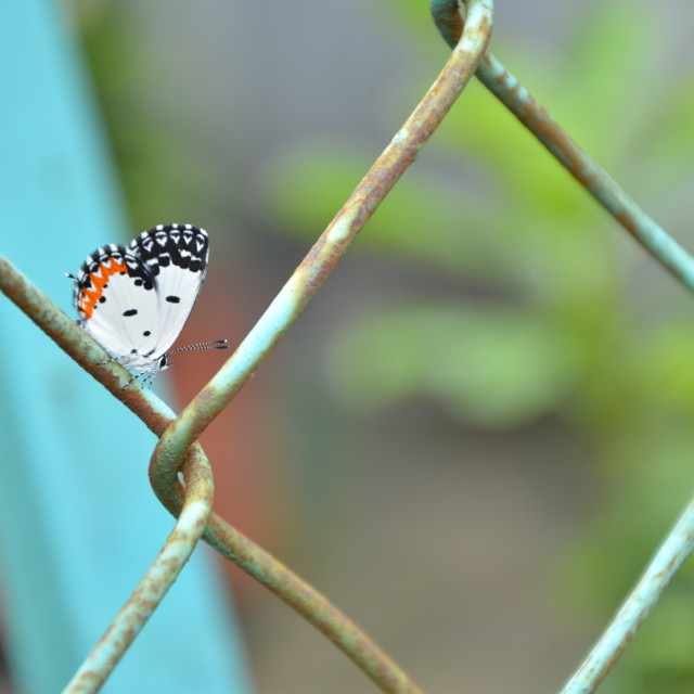 """Butterfly parked on fence"" stock image"