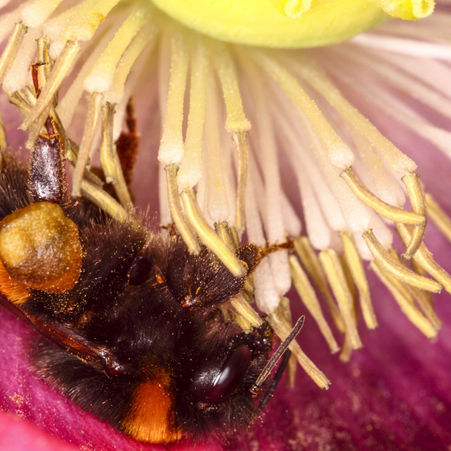 """""""Bee pollinating a poppy"""" stock image"""