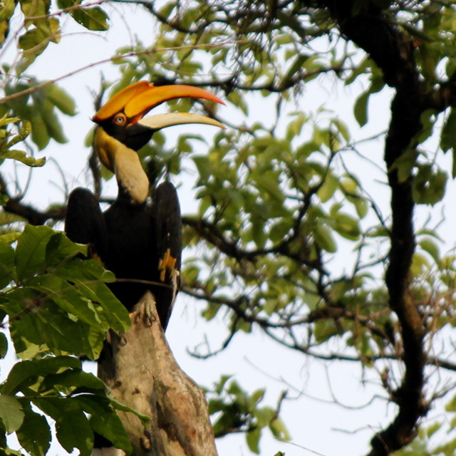 """The Great Indian Hornbill"" stock image"