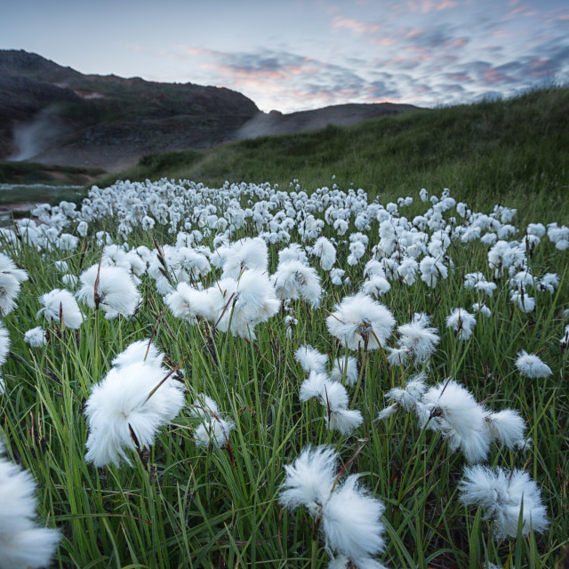 """cotton grass & midnight sun"" stock image"