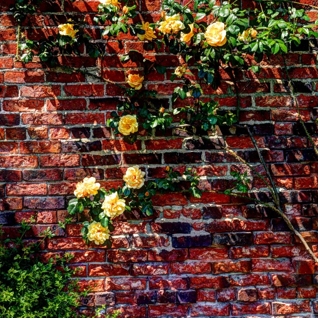 """HDR rose bush"" stock image"