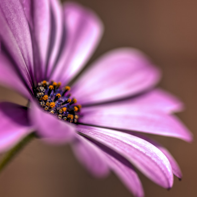 """HDR image of a cape daisy"" stock image"