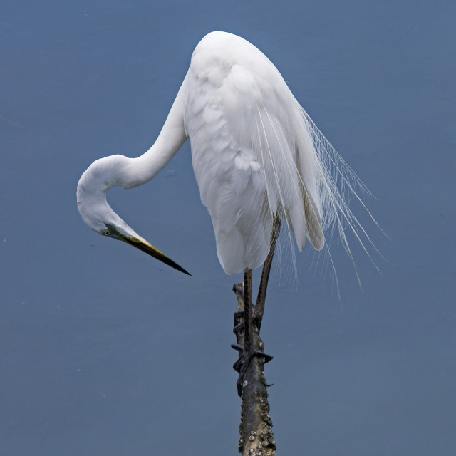 """Great White Egret (Ardea alba) (I)"" stock image"
