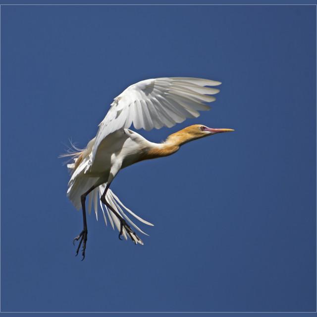 """Cattle Egret in Flight (Bubulcus ibis) (I)"" stock image"