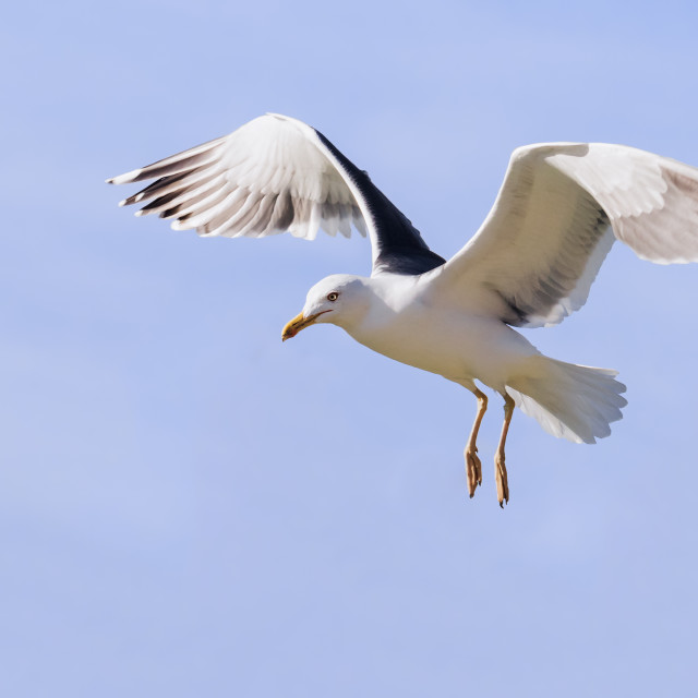 """Lesser black-backed gull hanging in the air"" stock image"