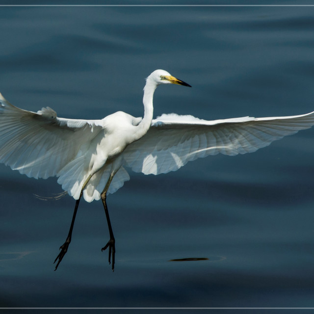 """Great Egret (Ardea alba) (II)"" stock image"