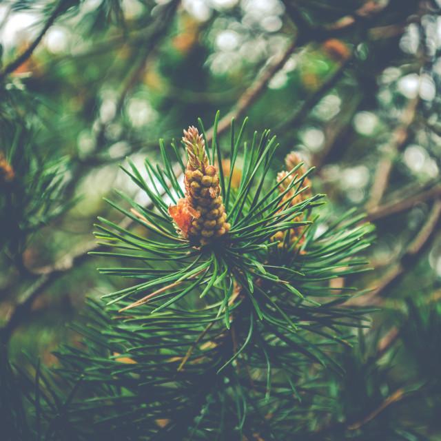 """Pine buds"" stock image"