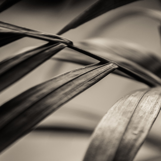 """Chamaedoria palm leave closeup"" stock image"