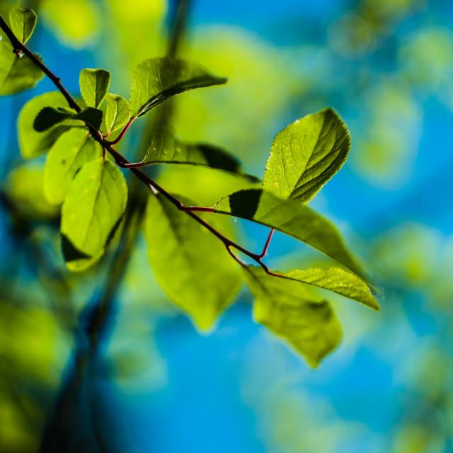 """Plum tree branch in Spring"" stock image"
