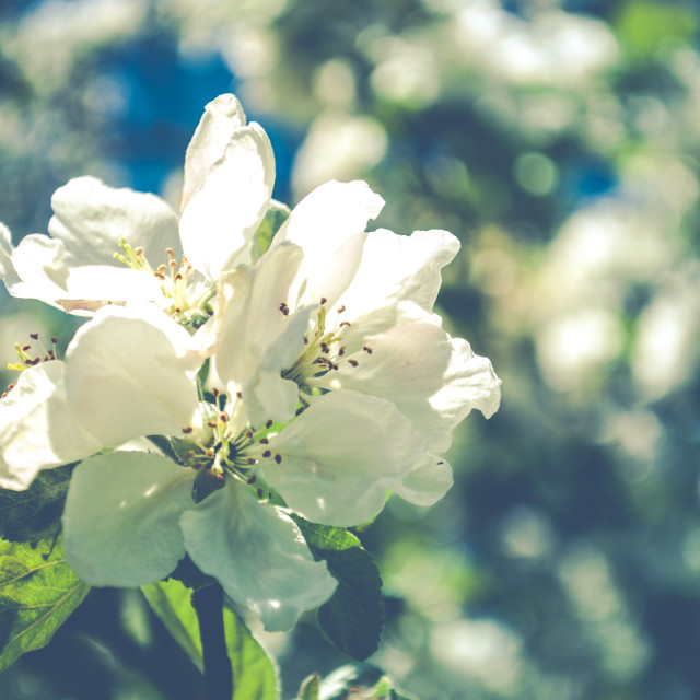 """Apple Blossoms"" stock image"