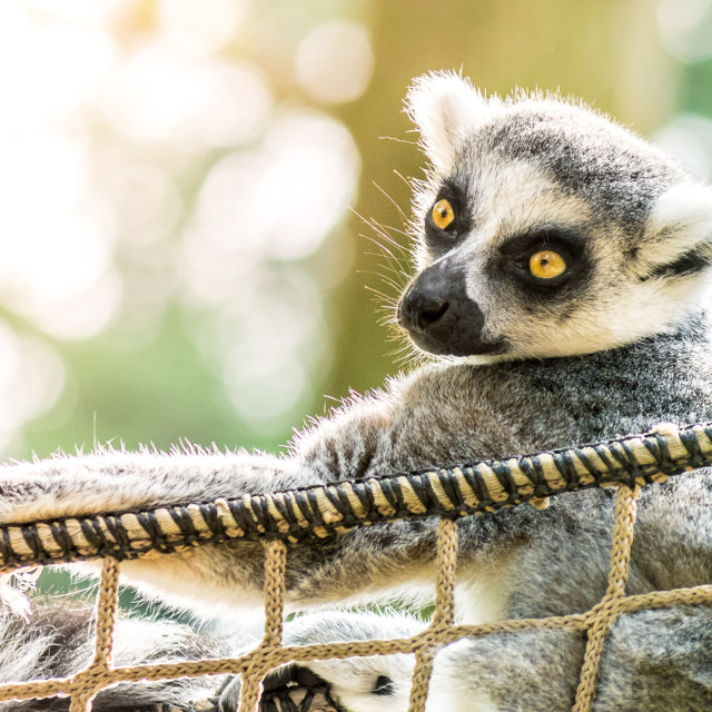 """Relaxing Ring-tailed lemur"" stock image"
