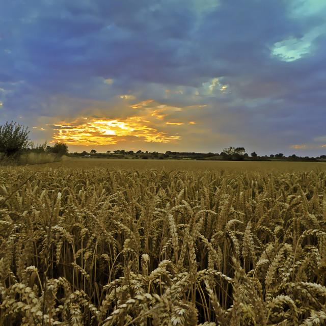 """cornfield"" stock image"