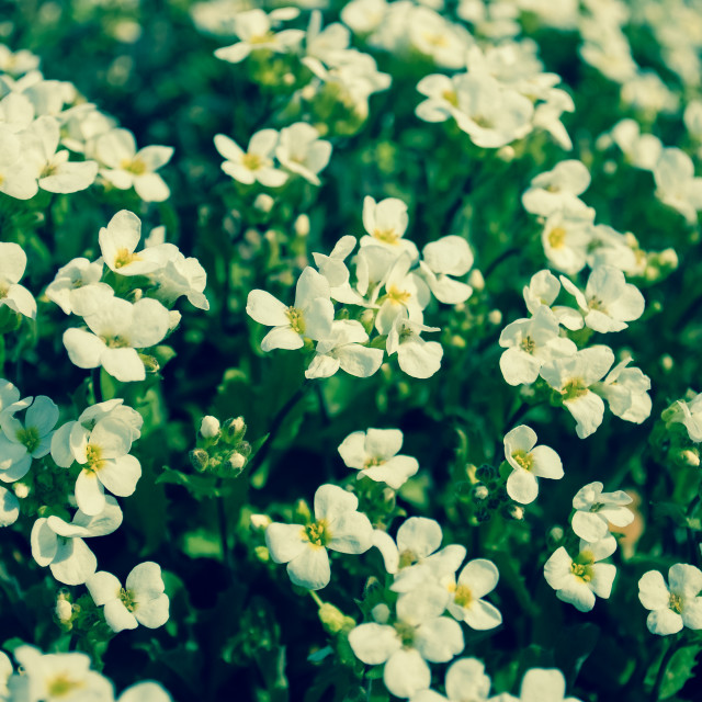 """""""Small White blooms"""" stock image"""