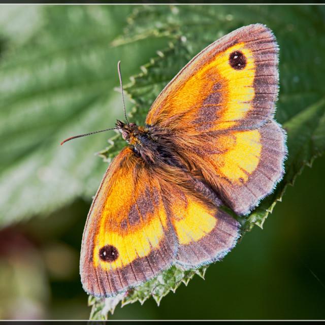"""""""Gatekeeper Butterfly (Maniola tithonus) (I)"""" stock image"""