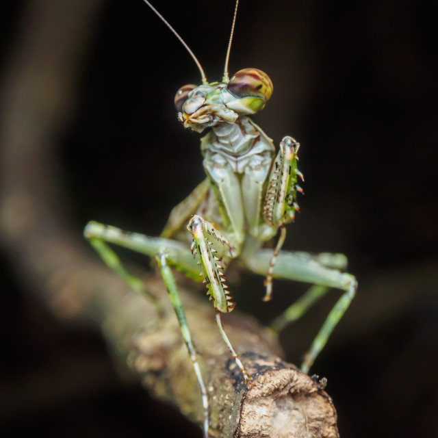 """Dancing Mantis"" stock image"