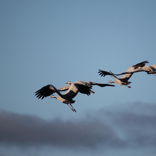 """Departing Cranes"" stock image"