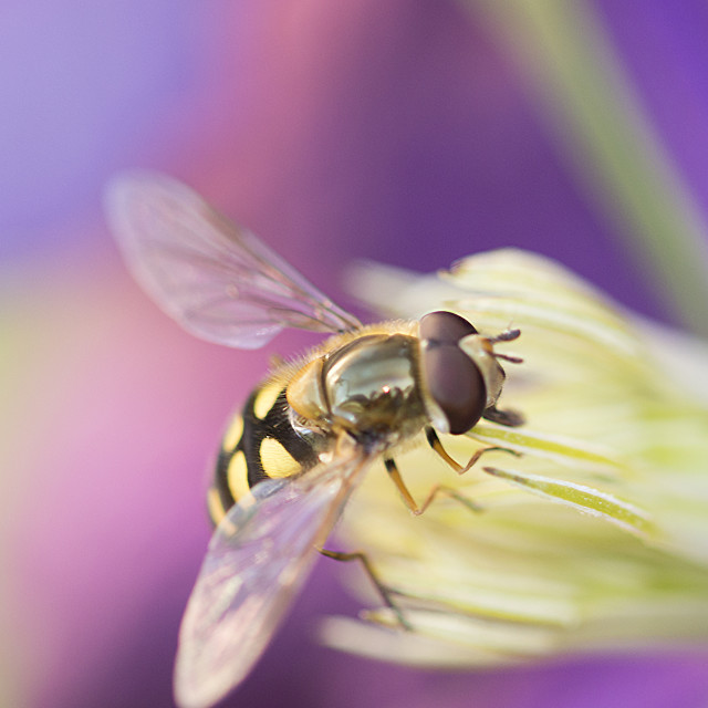 """""""Blowfly on flower"""" stock image"""