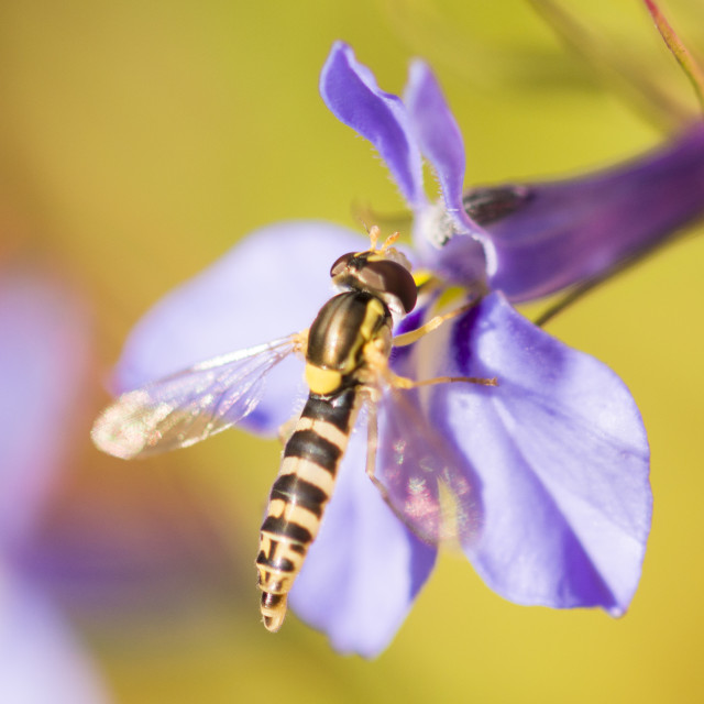"""Blowfly on Lobelia"" stock image"