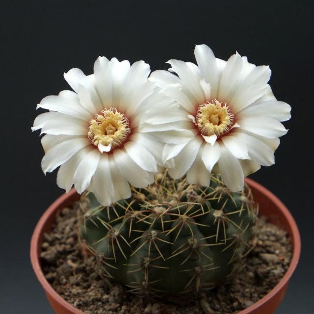 """Gymnocalycium quehlianum"" stock image"